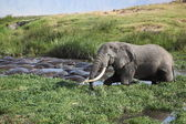 Rare Site: Elephant Bathing with Hippopotamus in Ngorongoro Crater — Stock Photo