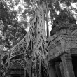 The Silk Cotton Tree and the Strangler Fig - Ta Prohm, Cambodi — Stock Photo