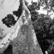 Stock Photo: Towering Silk-Cotton Tree - TProhm, Cambodia