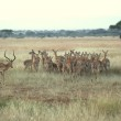 An Impala Ram and His Herd - Serengeti, Tanzania — Stock Photo #13934353