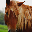 Horse head close-up , brown — Stock Photo