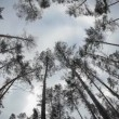 Stock Video: Wind blow tall trees