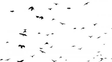 A flock of crows flying over head — Stock Video