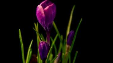 Flowers, purple crocuses bloom. Spring awakening. — Stockvideo
