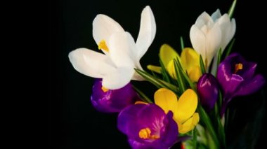 Flowers bouquet , purple, white Yellow crocuses bloom. — Stock Video