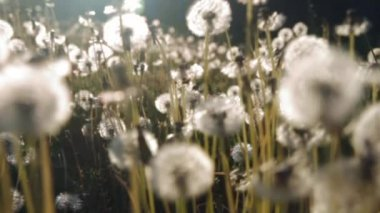 Meadow of white dandelions, tahe camera moves smoothly — Stock Video