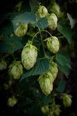 Hops, beer — Stock Photo