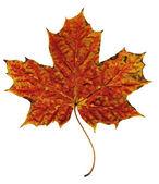 Autumn leaf orange-red — Stock Photo