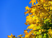 Blue sky golden maple leaf — Stock Photo