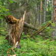 Stock Photo: Broken twisted tree after hurricane