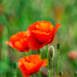 Wild red poppy on wind — Stock Photo