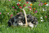 Alaskan Malamute Puppies in a Straw Basket — 图库照片
