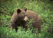 Cinnamon black bear in a forest — Stock Photo