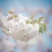 White Japanese Sakura Blossoms — Stock Photo