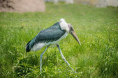 Marabou stork Walking — Stock Photo