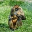 Stock Photo: Black-handed spider monkey