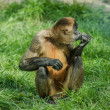 Black-handed spider monkey — 图库照片