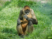 Black-handed spider monkey — Stock Photo