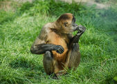 Black-handed spider monkey — Stock Photo