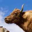 Brown Yak in the mountains against the blue sky - Stock Photo