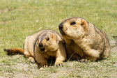 Couple of surprising marmots on the meadow — Stock Photo