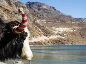 Jaka hlavu před tsongmo mounain jezero na slunečný den. — Stock fotografie