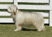 Briard dog — Stock Photo