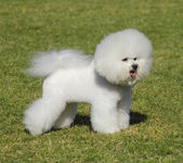 Bichon Frise dog — Stock Photo