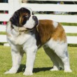 St. Bernard dog — Photo