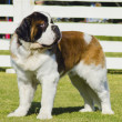 St. Bernard dog — Stock Photo #24088521