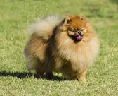špicl pes — Stock fotografie