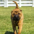 Shar Pei dog — Stock Photo