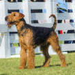 Airedale Terrier dog — Stock Photo