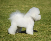 Bichon Frise — Stock Photo