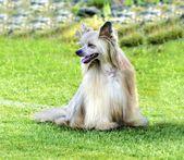 Chinese Crested dog (Powderpuff) — Stock Photo