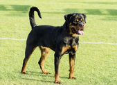 Rottweiler dog — Stock Photo