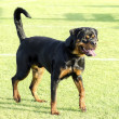Stock Photo: Rottweiler dog