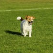 Russell Terrier — Stock Photo