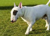 Bull terrier — Stockfoto