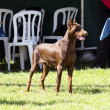 Doberman Pinscher (brown) — Stock Photo