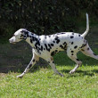 Dalmatidog — Stock Photo #33039801
