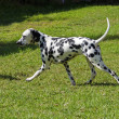 Dalmatidog — Stock Photo #33129479
