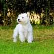 Stok fotoğraf: West Highland White Terrier