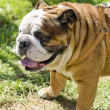 Постер, плакат: English Bulldog
