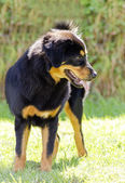 Tibetan Mastiff — Stock Photo