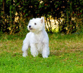 West Highland White Terrier — Стоковое фото