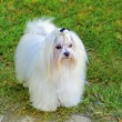 Foto Stock: Maltese dog
