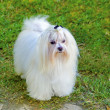 Maltese dog — Stock fotografie #33389231