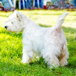 West Highland White Terrier — Stock Photo #33495899
