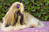 Shih Tzu dog — Zdjęcie stockowe
